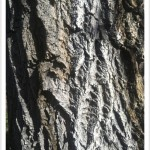 Boxelder - Identify by Older Bark