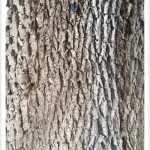 Bur Oak - Identify by Bark