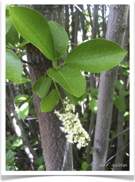 Chokecherry - Prunus virginiana - Bark, Leaves and Flowers