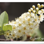 Chokecherry - Flowers