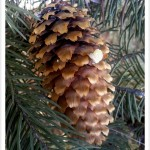 Colorado Blue Spruce Cone