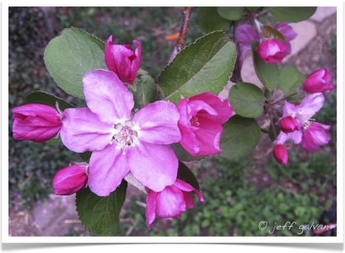 Crabapple Malus Flowering