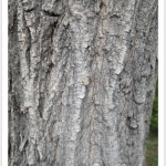 Maple, Boxelder - Bark