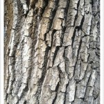 Plains Cottonwood - Identify by Bark