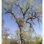 Plains Cottonwood - Populus sargentii - Tree