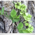 Siberian Elm - Ulmus pumila - Leaves, Seeds and Bark