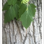 Boxelder - identifying by leaf