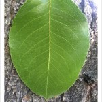 callery pear - identifying by leaf