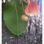 callery pear - Pyrus calleryana - Leaf - Fruit - Bark