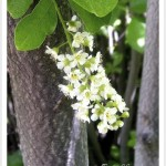 chokecherry flowers