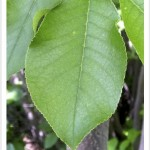 chokecherry leaf