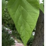western catalpa leaf