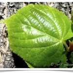 American linden young leaf