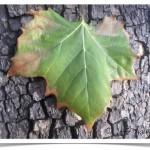 American sycamore - identifying by leaf