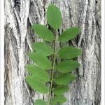 Black Locust - identifying by leaf
