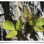 Boxelder - identifying by leaf