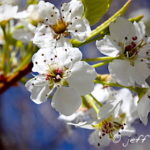 Callery Pear flowers are small with 5 white petals. They really don't smell very good to me:p
