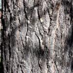 Callery Pear Mature Bark