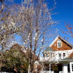 Callery Pear Growth Pattern
