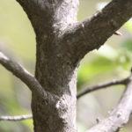 Chokecherry Branching Pattern