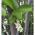Chokecherry - identifying by leaf