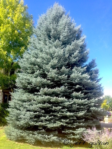 Colorado Blue Spruce Full View