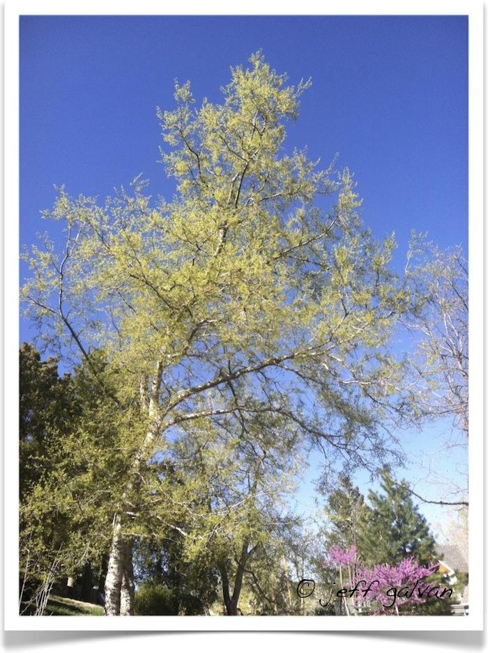 Common Hackberry - Celtis occidentalis - Full View