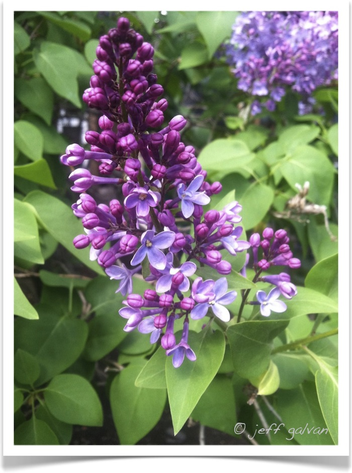 Common Lilac - Syringa vulgaris - Leaves and Flowers
