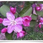 Crabapple Malus Flowering