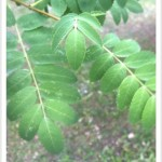 European Mountainash - identifying by leaf