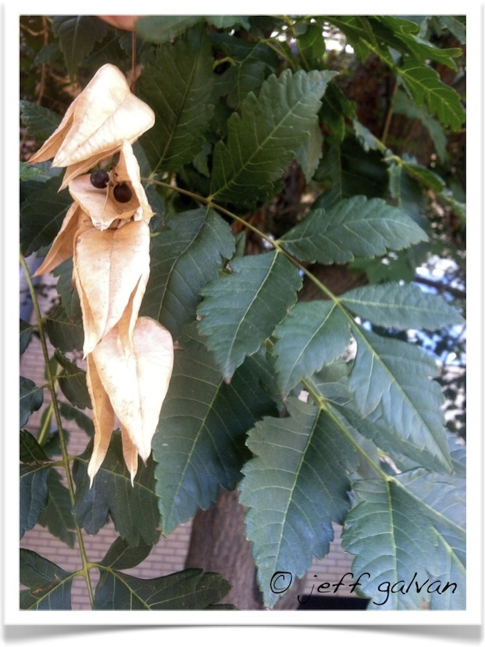 Goldenraintree leaf seeds pod