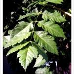 Goldenraintree pinnate leaf
