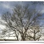 honey locust - Gleditsia triacanthos - April Canopy