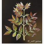 Coffeetree, Kentucky ~ Leaf