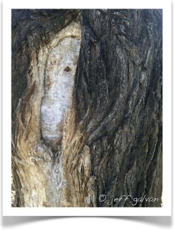 Large Cuts Heal Slowly on Older Trees