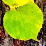 Linden, Littleleaf ~ Leaf