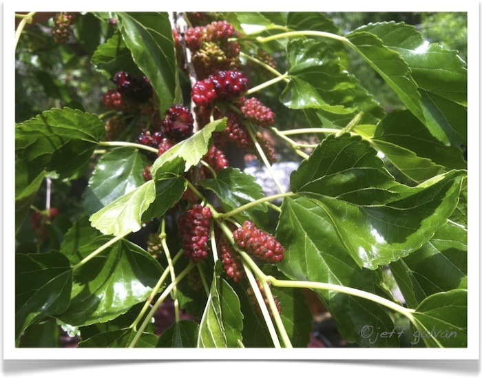 Mulberry - Morus species - Leaves and Berries