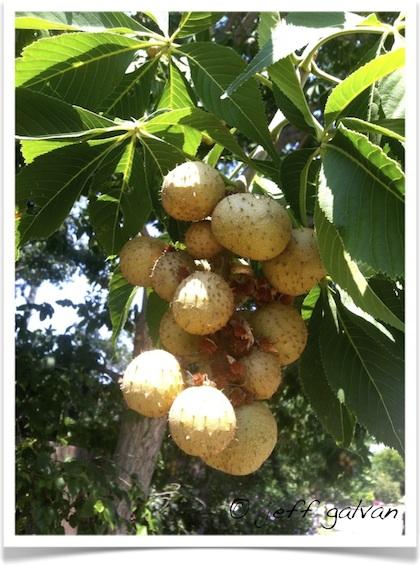 Ohio Buckeye Tree Identification