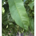 Peach - identifying by leaf