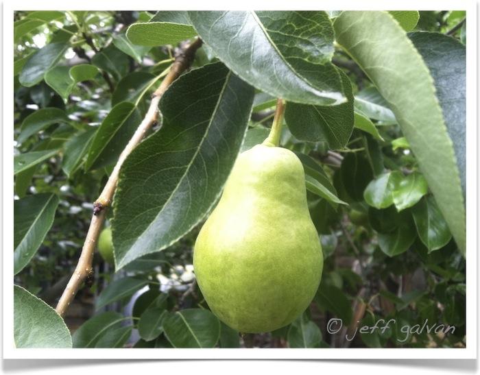 Pear - Bartlett - Pyrus communis - Fruit - Leaves