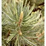 Pine, Pinyon Leaves