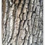 Plains Cottonwood - Identify by Bark