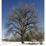 Cottonwood, Plains
