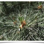 Ponderosa Pine - identifying by leaf