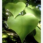 Redbud, Eastern ~ Leaf