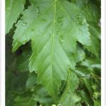 Maple, Rocky Mountain ~ Leaf
