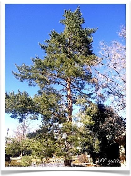 Scotch Pine Tree - Pinus sylvestris