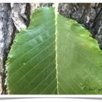 Siberian elm - identifying by leaf