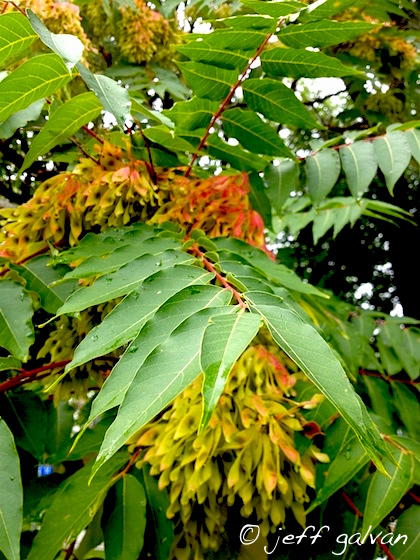 Tree of Heaven Leaves and Seed Pods