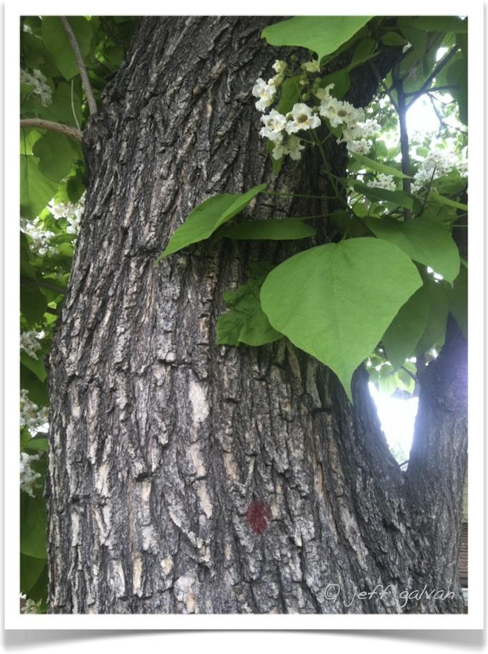 Western Catalpa - Catalpa speciosa - Bark, Leaves and Flowers